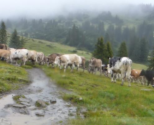Walser Ultratrail - Kühe an der Schwarzwasserhütte